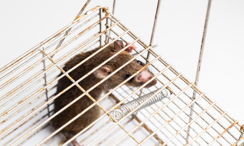 Anxious rat trapped and caught in metal cage