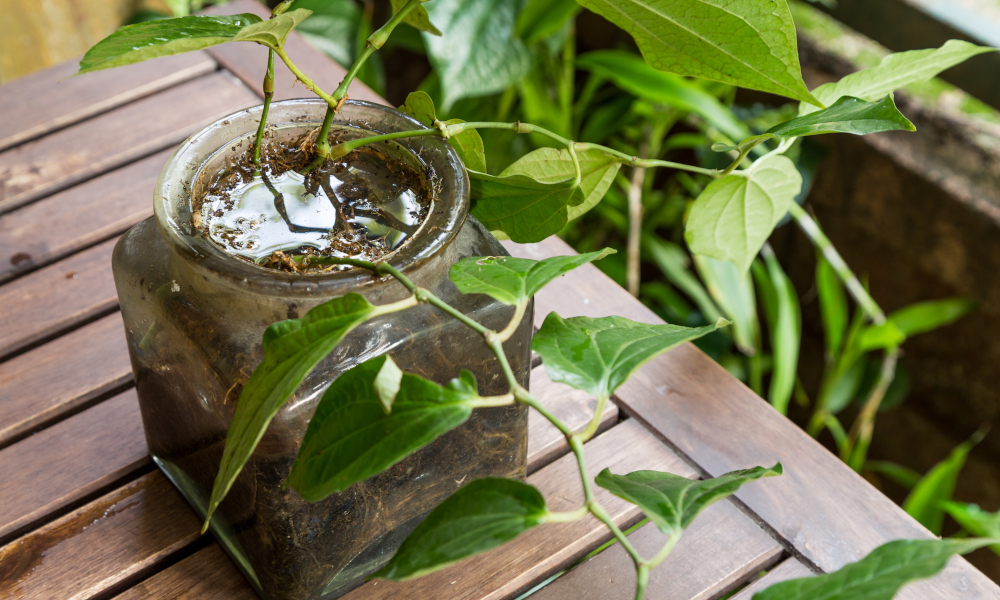 Potted plant with stagnant water, a breeding ground for mosquitoes